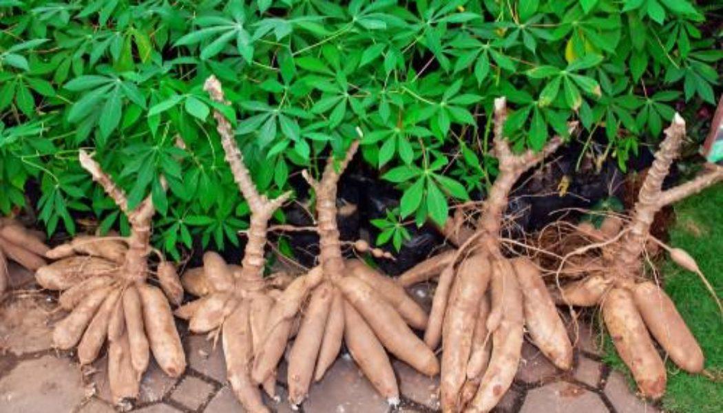 image Agriculture: Atok accueille un projet agricole visant à produire 6 280 tonnes de manioc